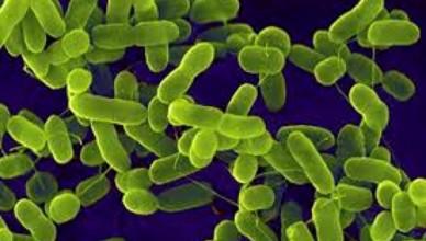 ecoli bakterija