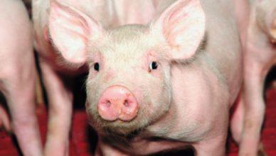 parsiukas kiaule